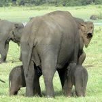Pădurarii din Sri Lanka au descoperit pui de elefanți gemeni, o raritate